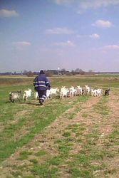 продам коз дойных,  козочек,  козлят