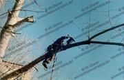Удаление деревьев методом промышленного альпинизма