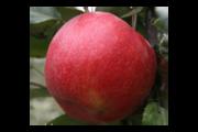 Яблоки беларуские оптом