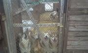Отдам бесплатно щенков западно-сибирской лайки