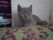 Британский короткошерстный котёнок